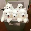 Adorabili pui samoyed remarcabili pentru adopție